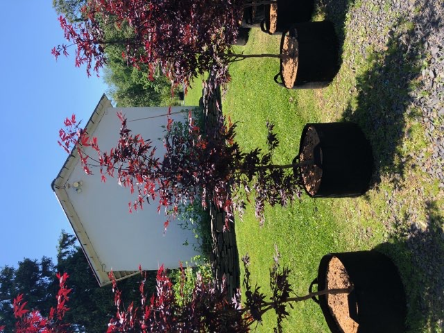 Stunning red colored leaves.  A must have on your property.  Get now while supplies last!